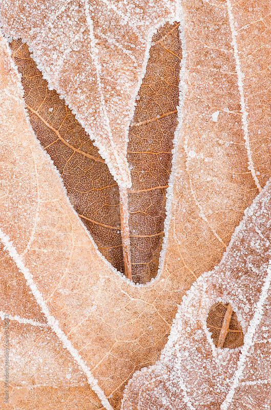 Macro photograph of frost and ice on maple leaves by Mark Windom for Stocksy United