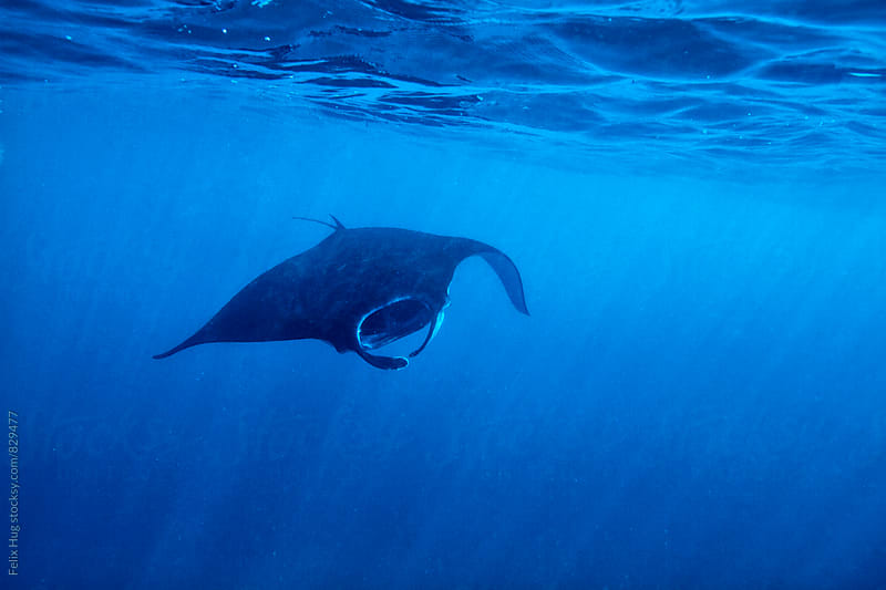Manta Ray at Nusa Penida by Felix Hug for Stocksy United