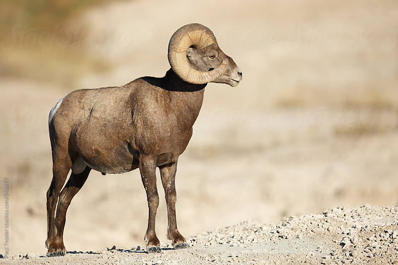 Bighorn Sheep by Paul Tessier for Stocksy United