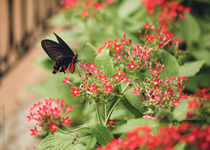 black and red butterfly in a garden by Kelly Knox for Stocksy United