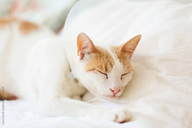 Cat sleeps on bed's pillow wearing a pet cone by Laura Stolfi for Stocksy United