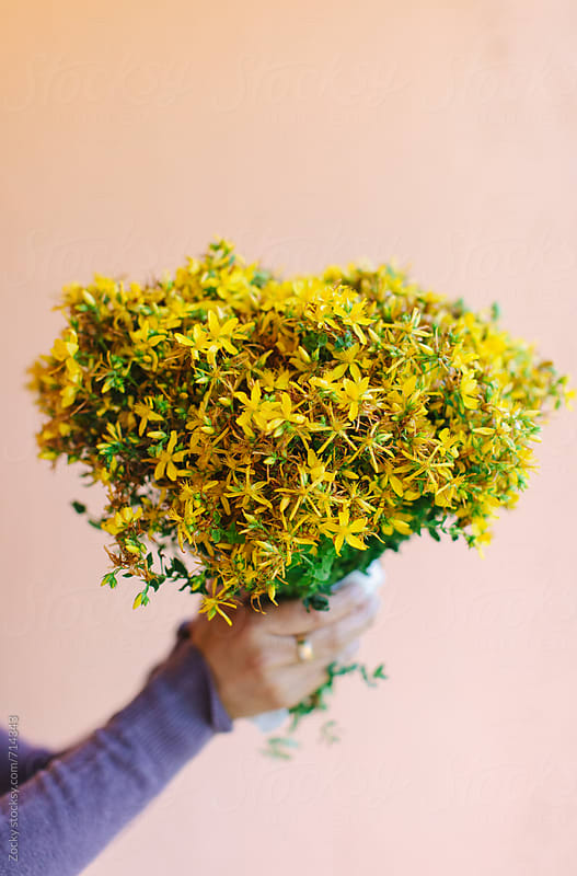 St. John's wort / Hypericum perforatum by Zocky for Stocksy United