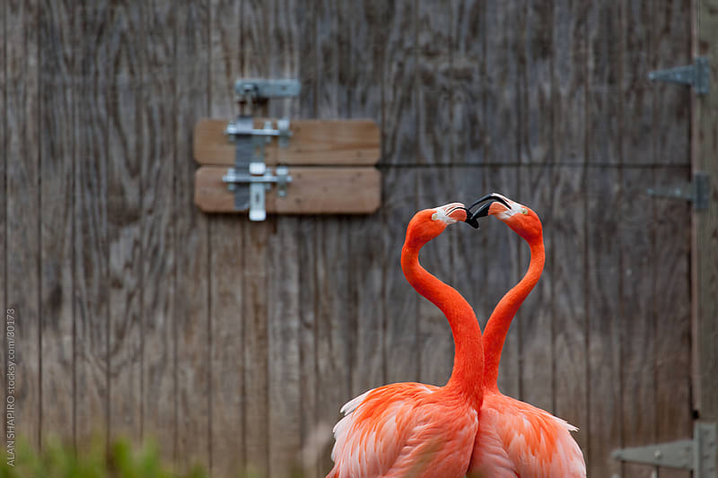 Love and Flamingos by alan shapiro for Stocksy United