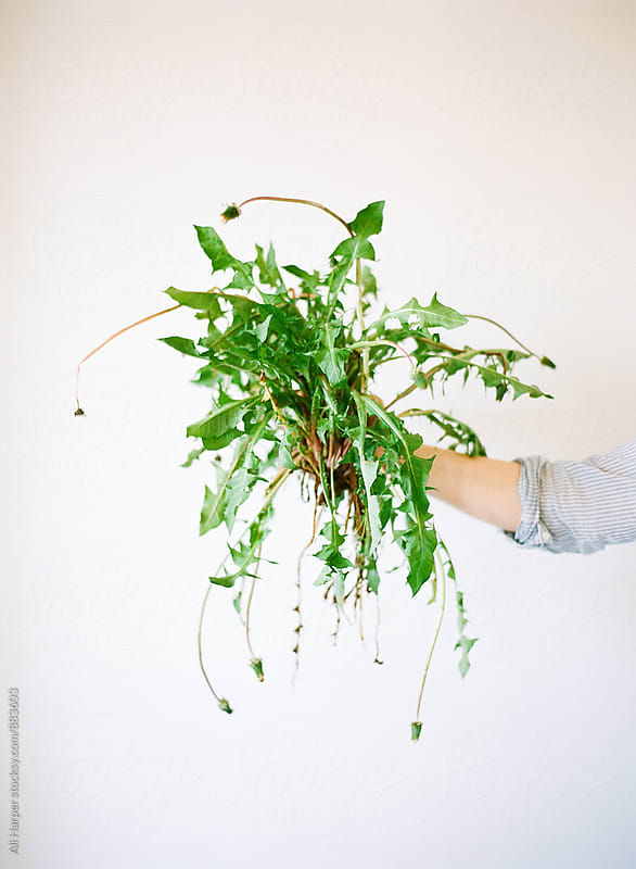 Dandelion weed with roots exposed by Ali Harper for Stocksy United