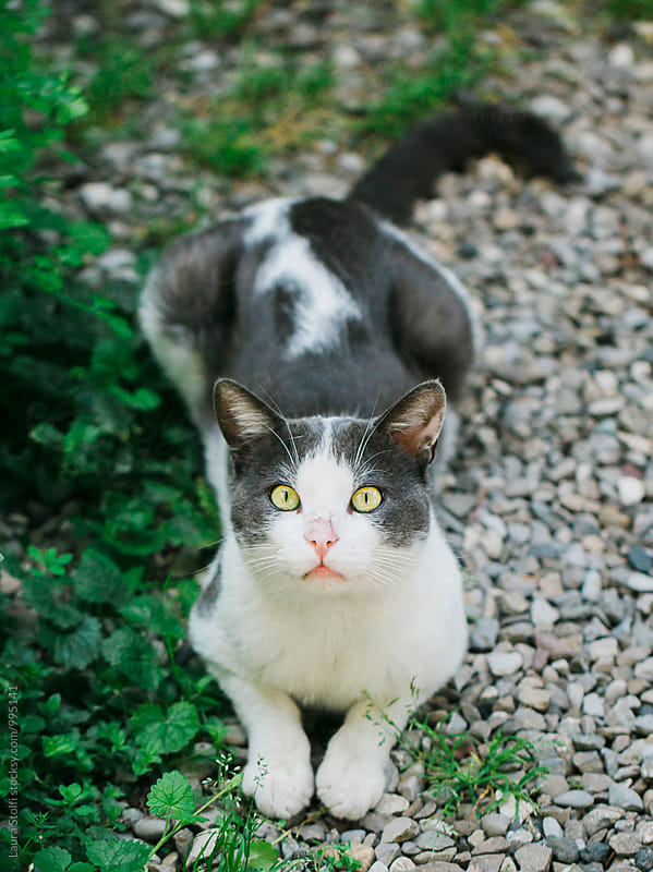 Cat with bright yellow eyes lays in garden and looks straight at camera by Laura Stolfi for Stocksy United