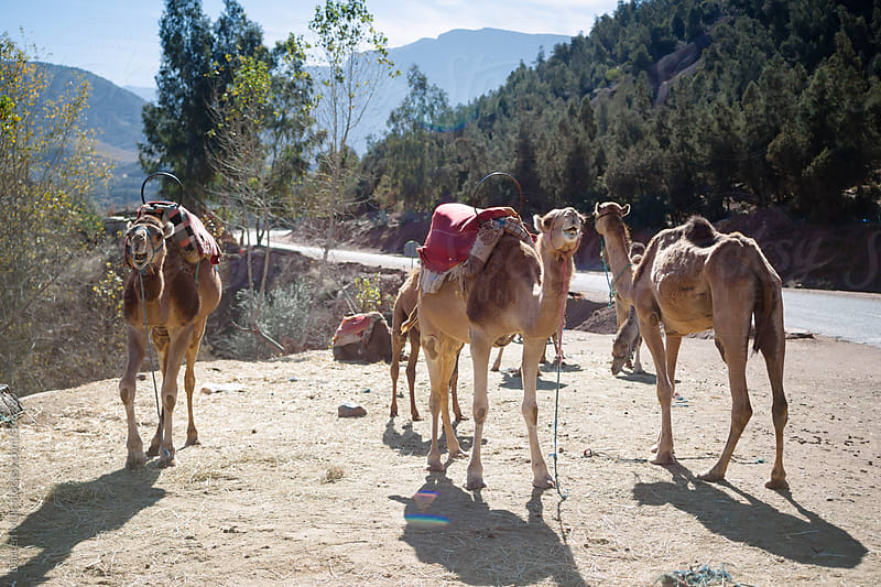 Camels in the high atlas mountains in Morocco. by Darren Muir for Stocksy United