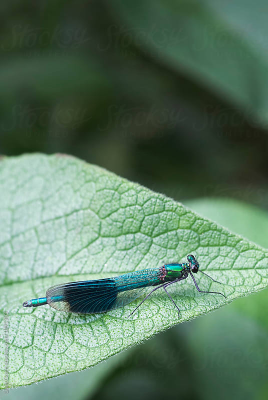 Male Banded Demoiselle damselfly (Calopteryx splendens). Norfolk, UK. by Liam Grant for Stocksy United