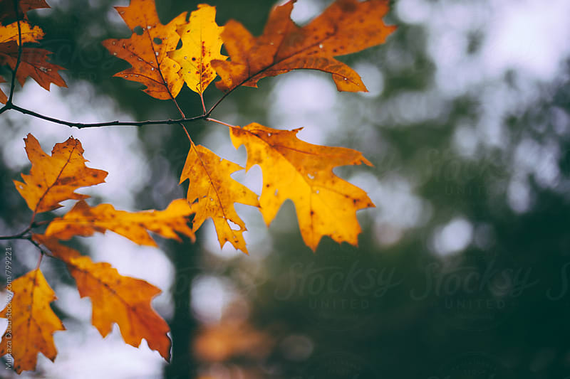 Autumn leaves in focus by Murtaza Daud for Stocksy United