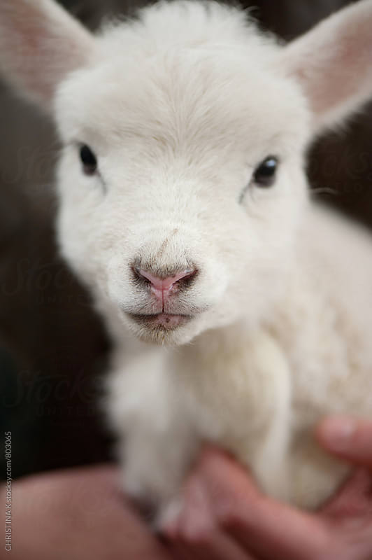 Little Lamb by CHRISTINA K for Stocksy United