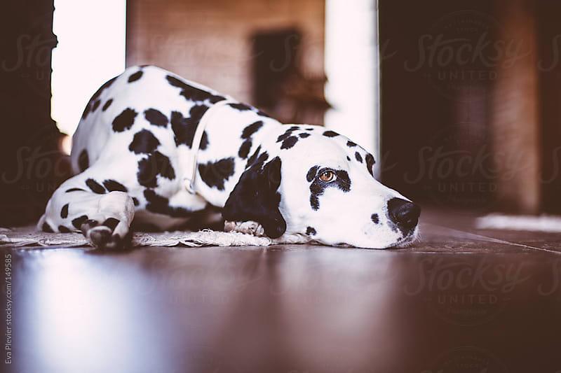Bored dalmatian waiting. by Eva Plevier for Stocksy United