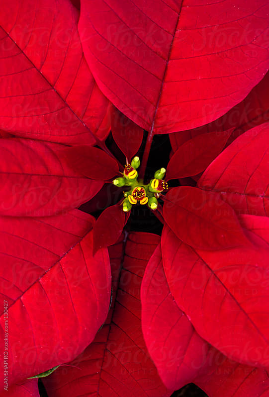 Poinsettia by ALAN SHAPIRO for Stocksy United