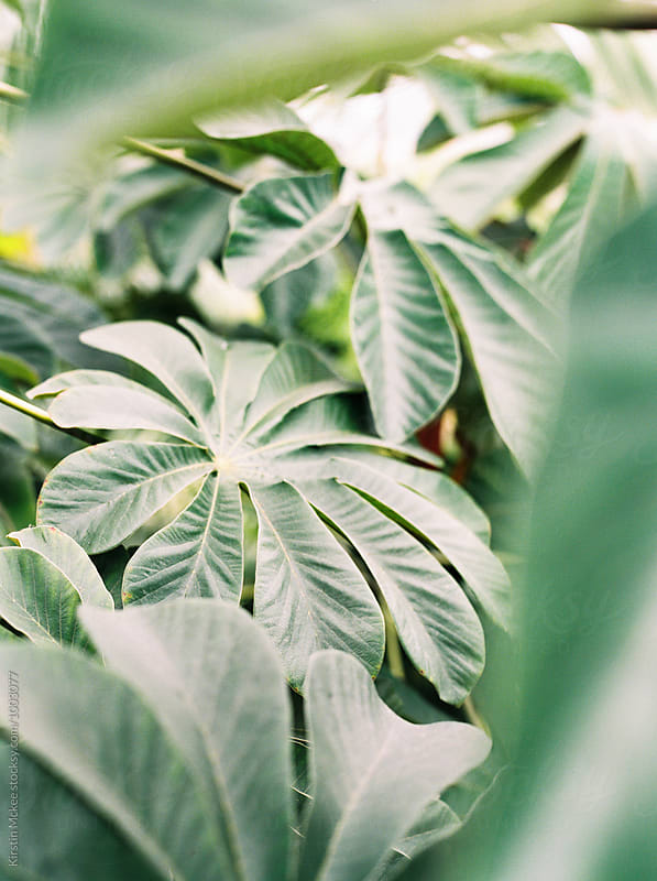 Tropical leaf by Kirstin Mckee for Stocksy United