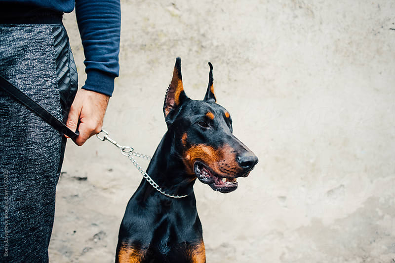 Portrait of doberman sitting by his owner by Boris Jovanovic for Stocksy United