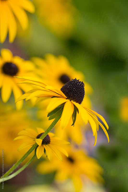 black eyed susan flowers in garden  by Melanie Kintz for Stocksy United
