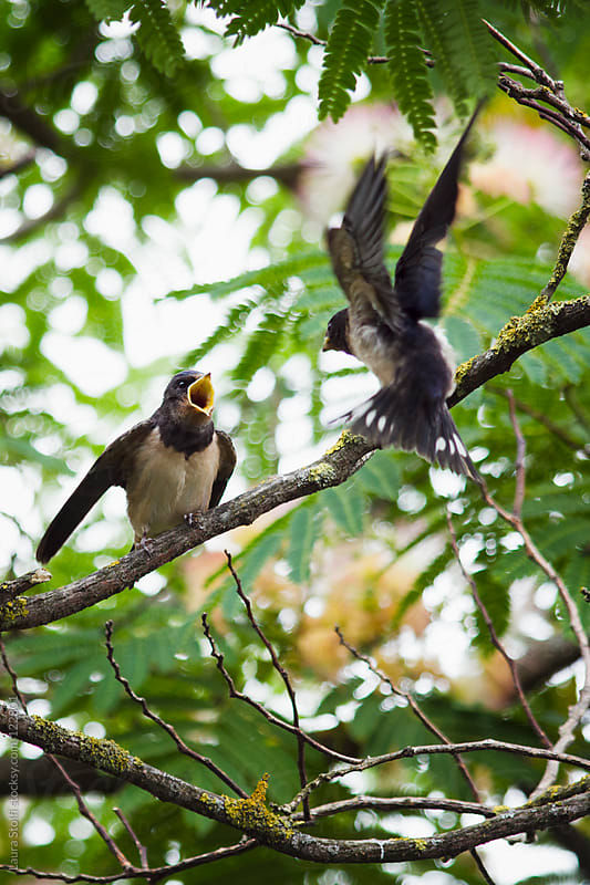 Mother swallow feeding young swallow on tree branch by Laura Stolfi for Stocksy United