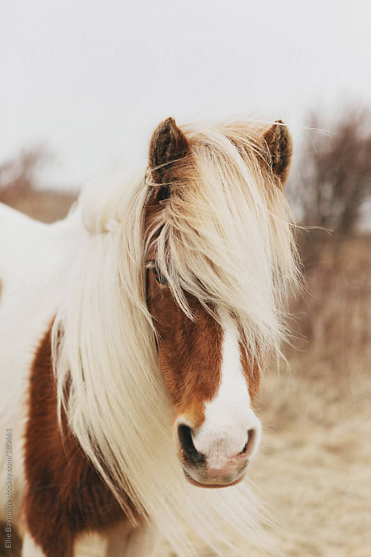 Portrait of a wild pony by Ellie Baygulov for Stocksy United