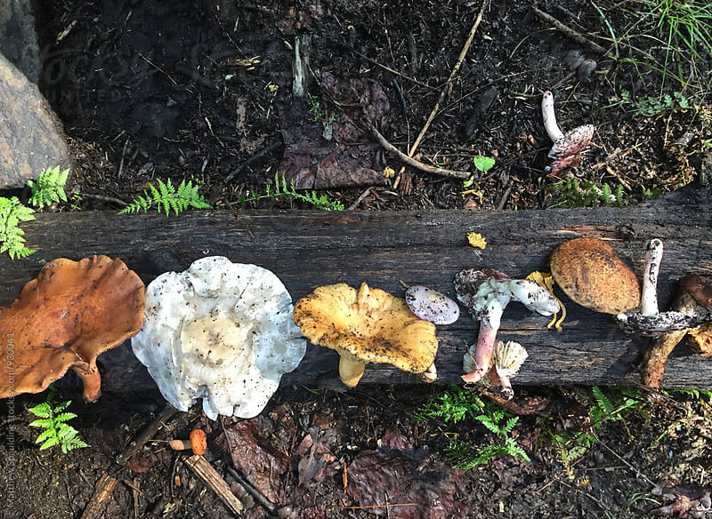 Variety of assorted mushrooms found in forest by Matthew Spaulding for Stocksy United