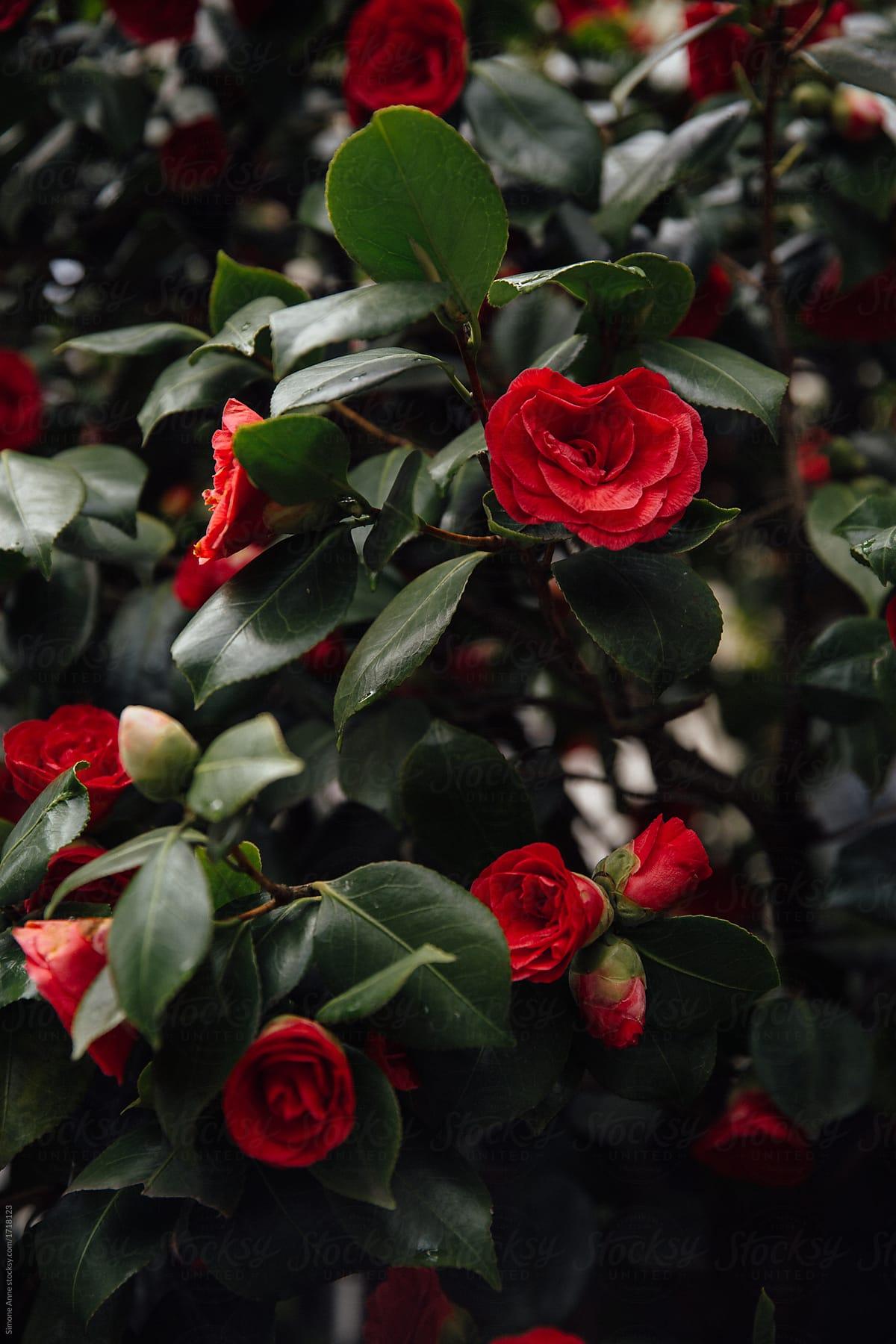 Deep Red Magnolia Trees Against A Deep Green Bush Stocksy United