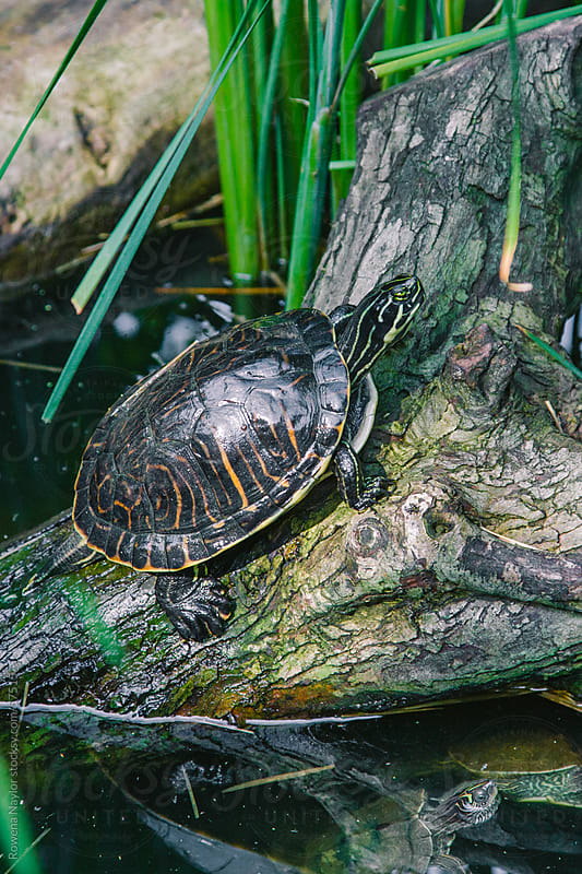 Tortoise on Pond with Reflection by Rowena Naylor for Stocksy United