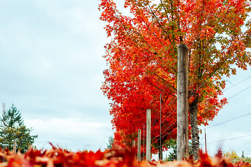 Red fall foliage leaves on a row of maple trees and on the ground next to the fence by Mihael Blikshteyn for Stocksy United