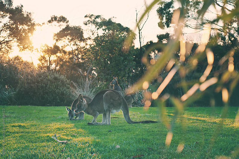 wild kangaroos in the park by Gillian Vann for Stocksy United