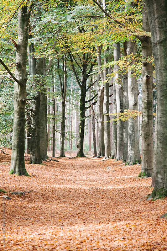 A foot path situated between big  trees during autumn by Ivo de Bruijn for Stocksy United