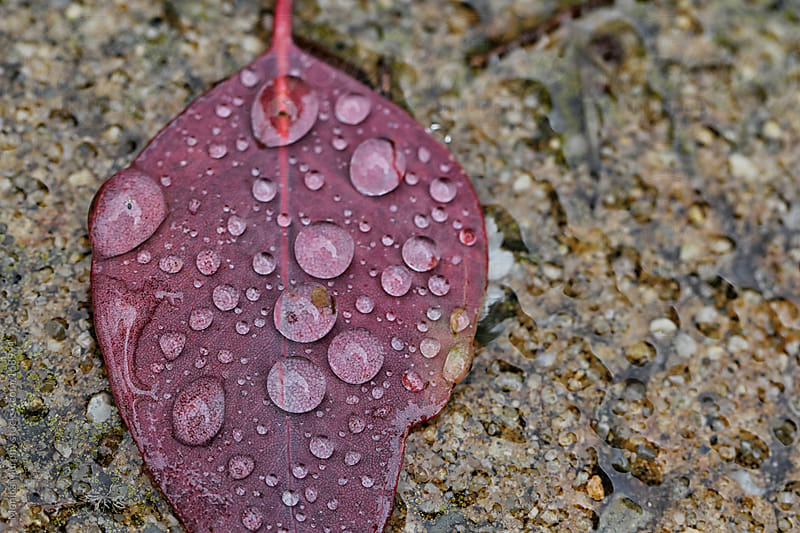 Close up of rain drops on a red leaf by Monica Murphy for Stocksy United