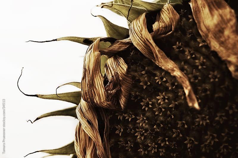 Dried Sunflower by Tamara Pruessner for Stocksy United