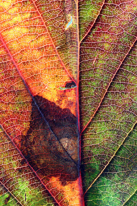 Various fall leaves macro shoot by Marcel for Stocksy United