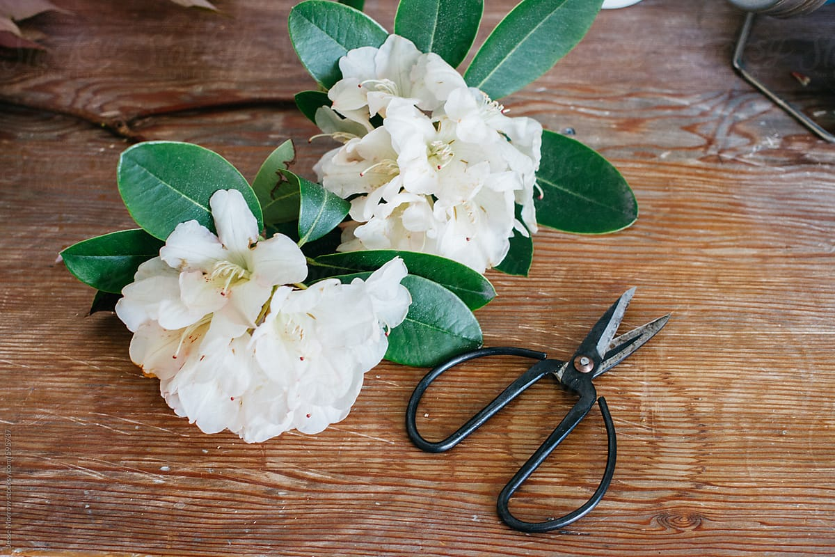 Big White Flowers In Spring Time On Old Wooden Table With Scissors