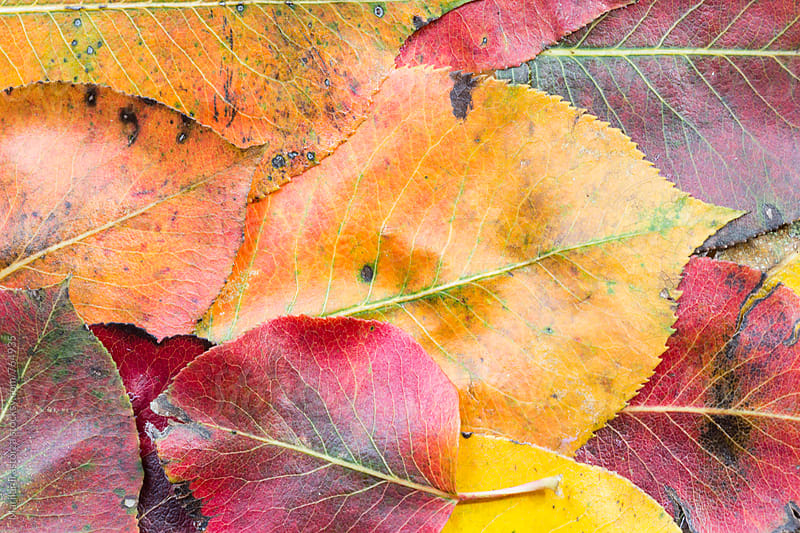 Closeup of leaves in Autumn by Marilar Irastorza for Stocksy United