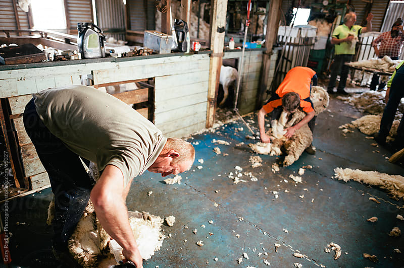 Australian Shearers at Work by Gary Radler Photography for Stocksy United