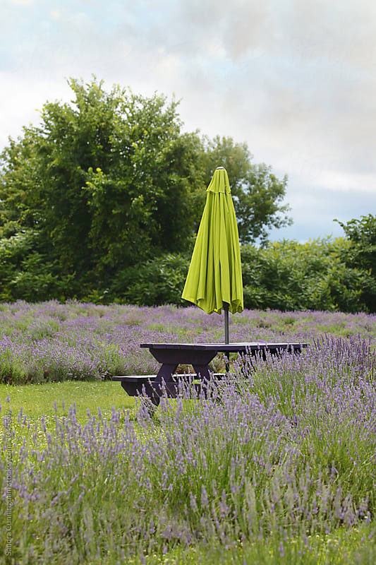 Picnic table with umbrella surround by lavender flowers by Sandra Cunningham for Stocksy United