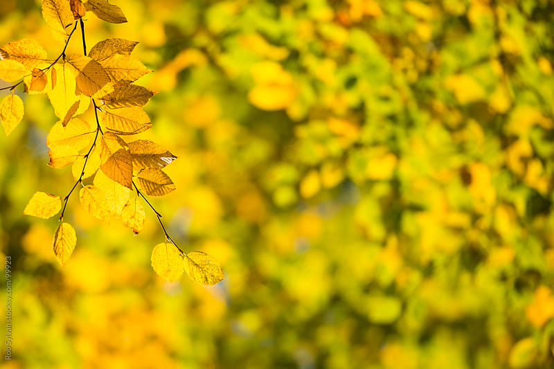 Golden Beech Leaves by Rob Sylvan for Stocksy United