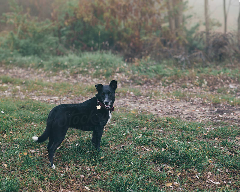 Wet dog stands in country field in wintry morning by Laura Stolfi for Stocksy United