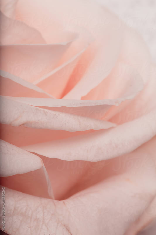 Rose Petals in pink by Max Kütz for Stocksy United