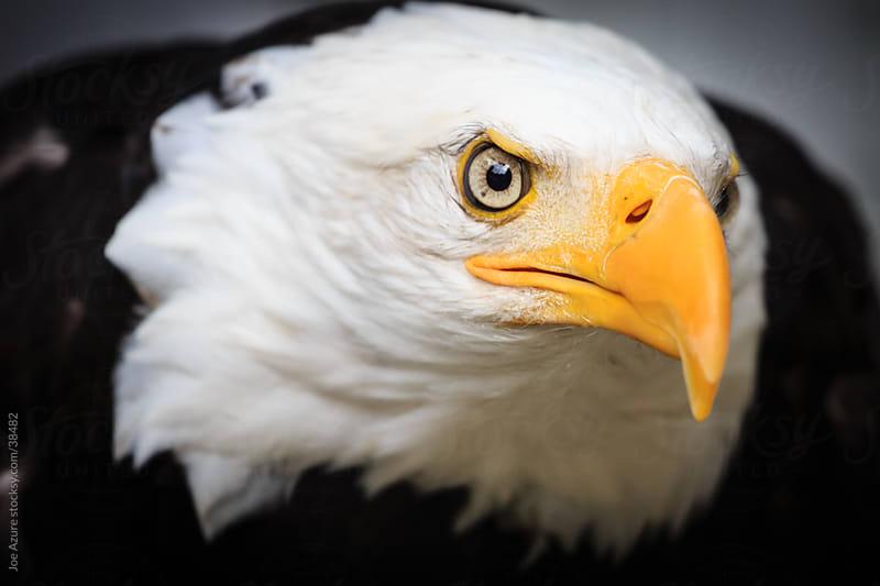 Bald Eagle Closeup by Joe Azure for Stocksy United