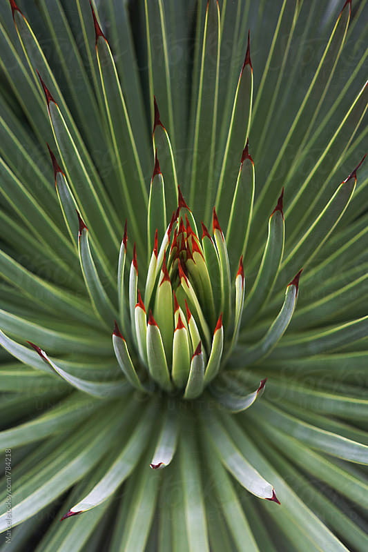 Beautiful exotic agave plant by Marcel for Stocksy United