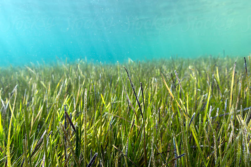 Sea grass meadow underwater by Jovana Milanko for Stocksy United