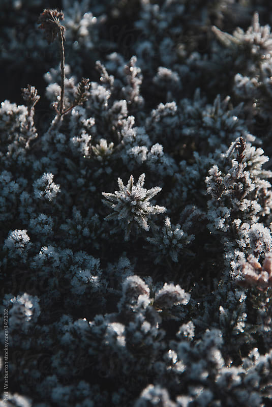 Frosted Gorse by Neil Warburton for Stocksy United