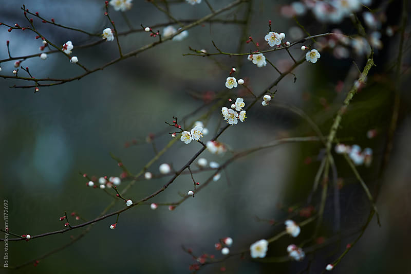 cherry blossom branch by Bo Bo for Stocksy United