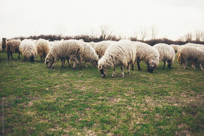 Flock of Sheep by Lumina for Stocksy United