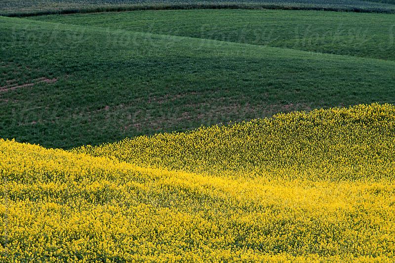 fields in the palouse of wheat (Triticum sp.) and lentils (lens culinaris) and fallow field by Ron Mellott for Stocksy United