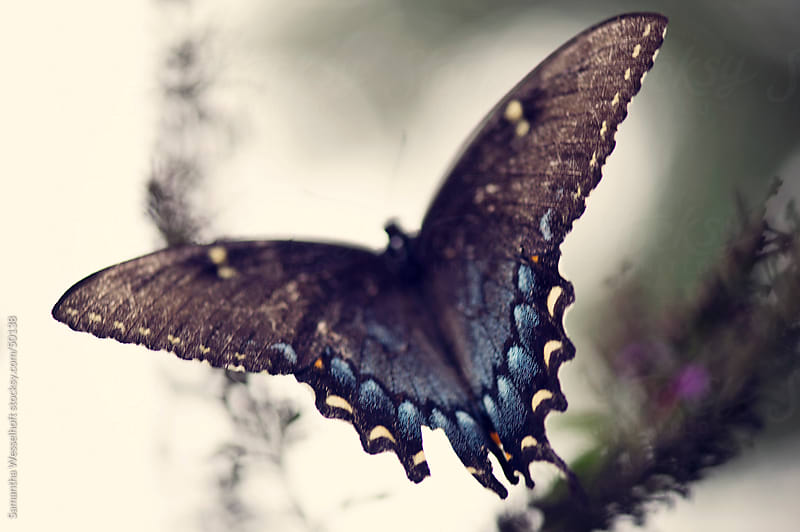 black swallowtail wings by Samantha Wesselhoft for Stocksy United