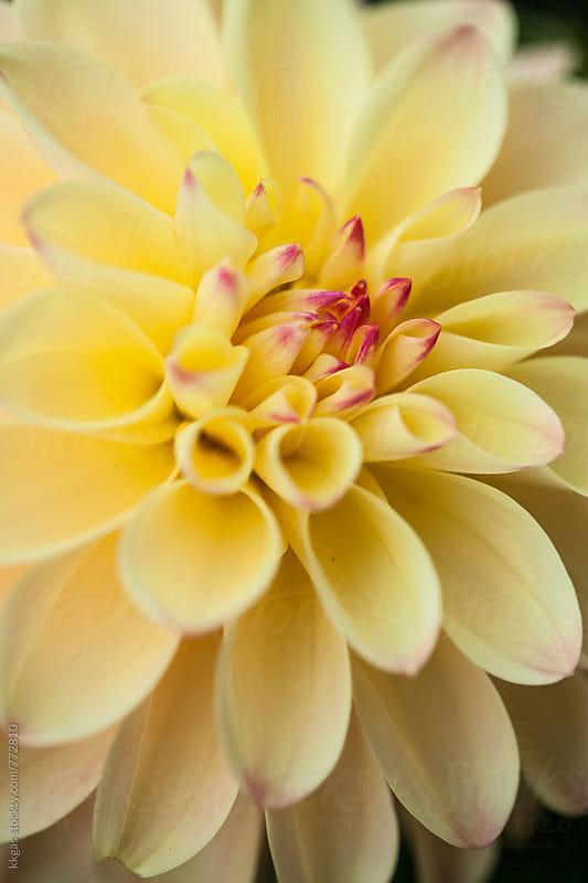 Dahlia flowerhead macro by kkgas for Stocksy United