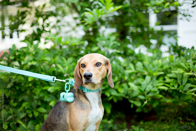 Close up of bloodhound dog wearing collar and leash at the park by Laura Stolfi for Stocksy United
