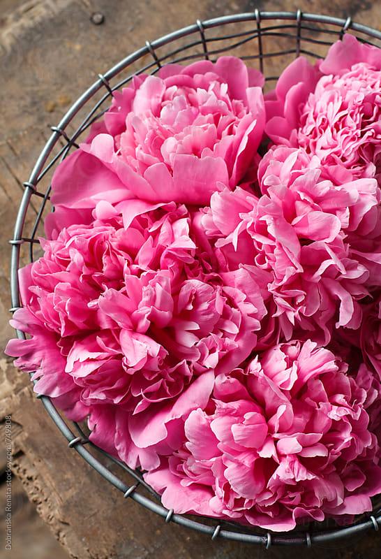 Pink Peony by Dobránska Renáta for Stocksy United