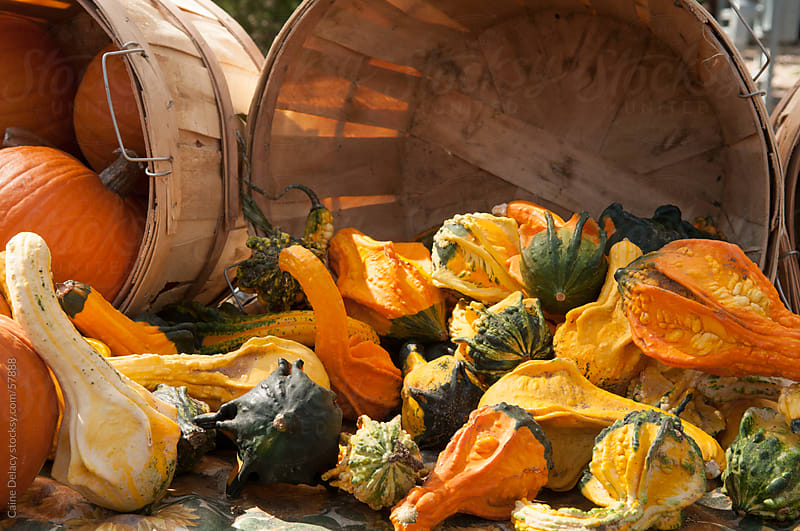 Pumpkins on display by Caine Delacy for Stocksy United
