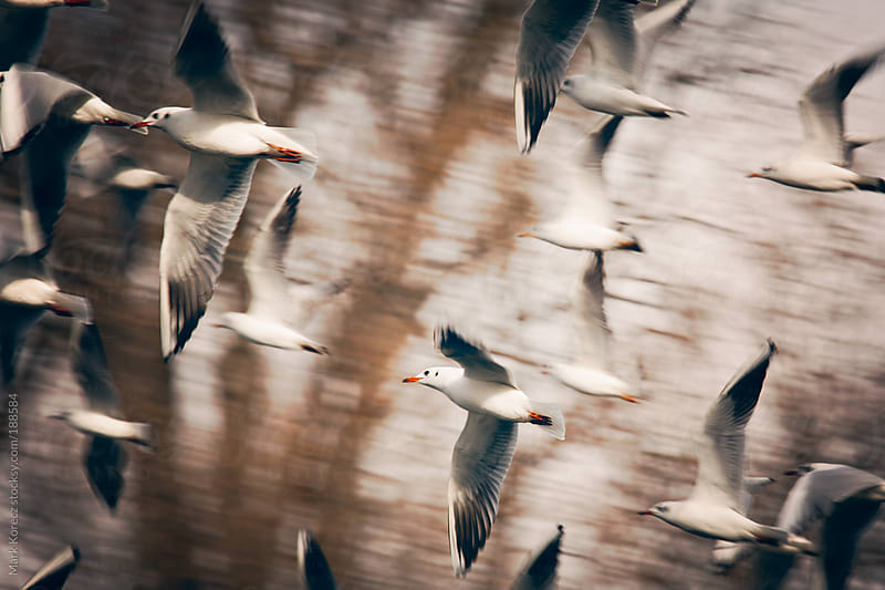 Gulls in the air by Mark Korecz for Stocksy United