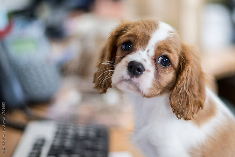 King Charles Spaniel puppy sitting at a desk by Mike Marlowe for Stocksy United